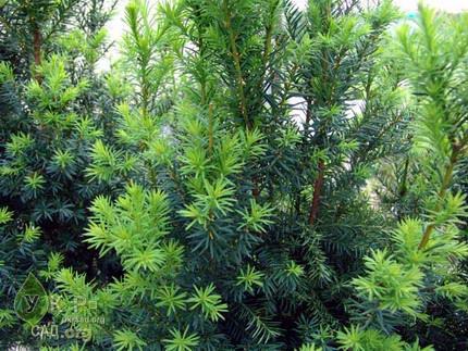 Хвойные растения тисс taxus статьи