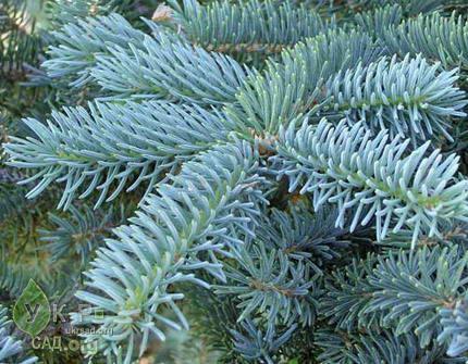 Голубая ель (Picea pungens)